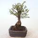 Outdoor-Bonsai - Ulmus parvifolia SAIGEN - Kleinblättrige Ulme - 3/7