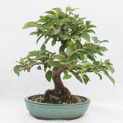 Outdoor-Bonsai -Malus Halliana - fruited Apfel - 3