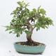 Outdoor-Bonsai -Malus Halliana - fruited Apfel - 3/6