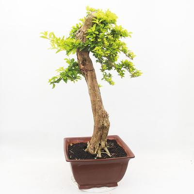 Indoor-Bonsai - Duranta erecta Aurea - 3