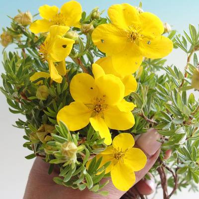 Bonsai-Cinquefoil im Freien - Dasiphora fruticosa gelb - 3