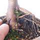 Outdoor-Bonsai - Acer-Palme. Atropurpureum-Rotes Palmblatt - 3/6
