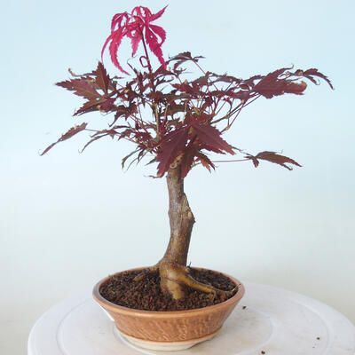 Outdoor-Bonsai - Acer-Palme. Atropurpureum-Rotes Palmblatt - 3