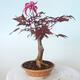 Outdoor-Bonsai - Acer-Palme. Atropurpureum-Rotes Palmblatt - 3/5