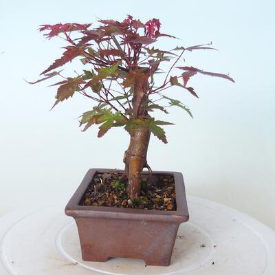 Outdoor-Bonsai - Ahorn palmatum DESHOJO - Ahorn palmate - 3