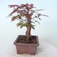 Outdoor-Bonsai - Ahorn palmatum DESHOJO - Ahorn palmate - 3/5