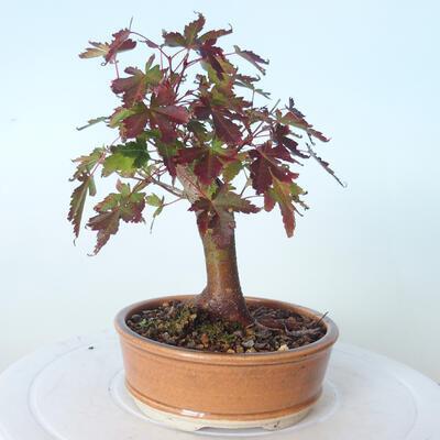 Outdoor-Bonsai - Ahorn palmatum sangokaku - Ahornpalmenblatt - 3