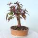 Outdoor-Bonsai - Ahorn palmatum sangokaku - Ahornpalmenblatt - 3/5