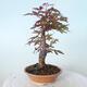 Outdoor-Bonsai - Ahorn palmatum DESHOJO - Ahorn palmate - 3/6