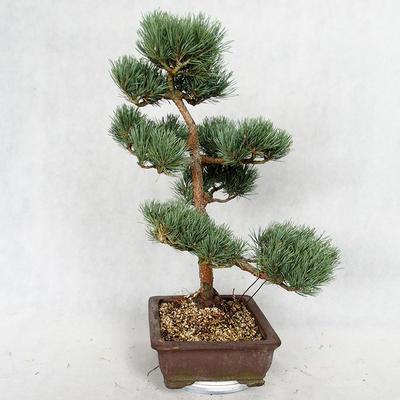 Außenbonsai - Pinus sylvestris Watereri - Waldkiefer VB2019-26852 - 3
