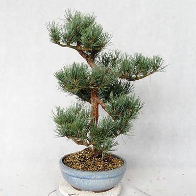 Außenbonsai - Pinus sylvestris Watereri - Waldkiefer VB2019-26859 - 3