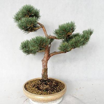 Außenbonsai - Pinus sylvestris Watereri - Waldkiefer VB2019-26868 - 3