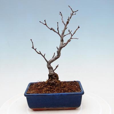 Außenbonsai - Pinus sylvestris Watereri - Waldkiefer VB2019-26870 - 3