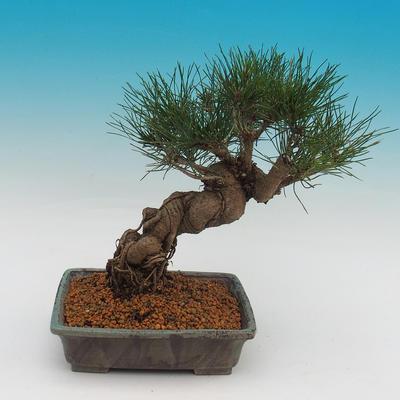 Pinus thunbergii - Kiefer thunbergova - 3