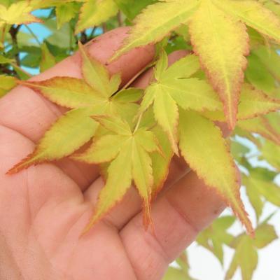 Acer palmatum Aureum - Japanischer Ahorn VB2020-469 - 3