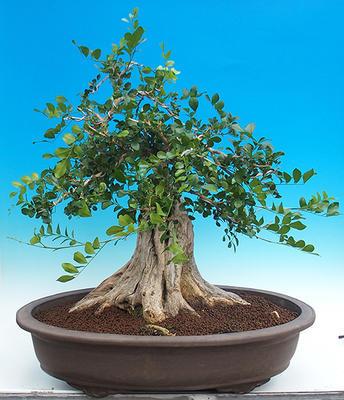 Zimmerbonsai - Muraya paniculata - 3