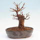 Bonsai im Freien - Buergerianum Maple - Burger Maple - 3/5