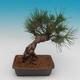 Pinus thunbergii - Kiefer thunbergova - 3/4