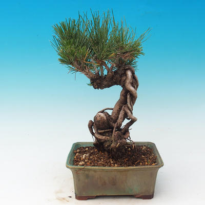 Im Freien Bonsai-Pinus Thunbergii - Thunberg-Kiefer - 3