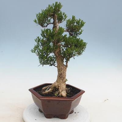 Indoor Bonsai - Buxus harlandii - Kork Buchsbaum - 3