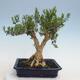 Indoor Bonsai - Buxus harlandii - Kork Buchsbaum - 3/6