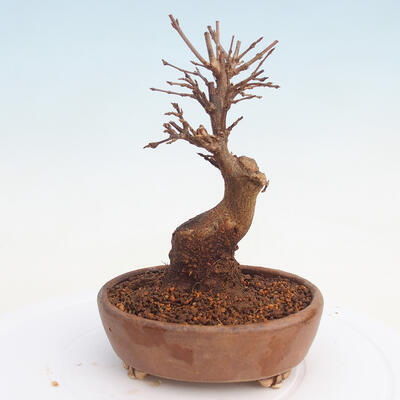 Bonsai im Freien - Buergerianum Maple - Burger Maple - 3