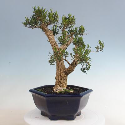 Innenbonsai - Buxus harlandii - Korkbuchsbaum - 3