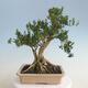 Innenbonsai - Buxus harlandii - Korkbuchsbaum - 3/7