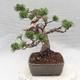 Bonsai im Freien - Pinus Mugo - kniende Kiefer - 3/5