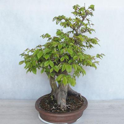 Bonsai im Freien Carpinus betulus- Hainbuche VB2020-485 - 3