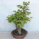 Bonsai im Freien Carpinus betulus- Hainbuche VB2020-485 - 3/5