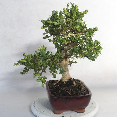 Bonsai im Freien - Buchsbaum - 3
