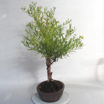 Bonsai im Freien - Johanniskraut - Hypericum - 3