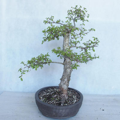 Outdoor Bonsai -Ulmus GLABRA Elm VB2020-495 - 3