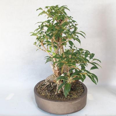 Bonsai im Freien - Forsythie - Forsythie - 3