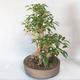 Bonsai im Freien - Forsythie - Forsythie - 3/5