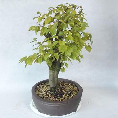 Bonsai im Freien - Hainbuche - Carpinus betulus - 3