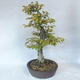 Bonsai im Freien - Hainbuche - Carpinus betulus - 3/5