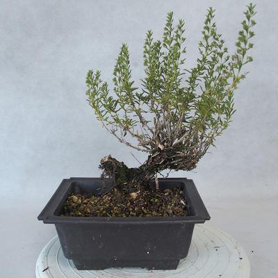 Bonsai im Freien - Berg Satureja - Satureja montana - 3
