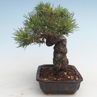 Pinus thunbergii - Thunberg Kiefer VB2020-572 - 3