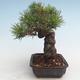 Pinus thunbergii - Thunberg Kiefer VB2020-572 - 3/5