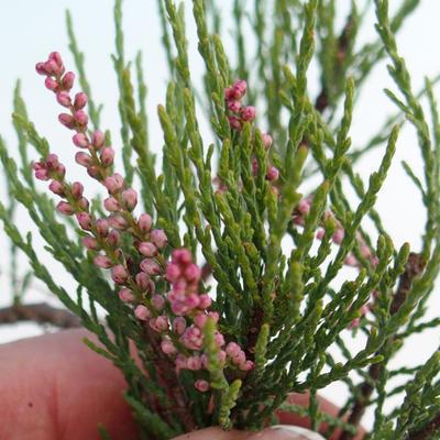 Bonsai im Freien - Tamaris parviflora Tamarisk 408-VB2019-26803, kleinblättrig - 3