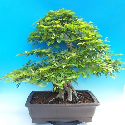 Outdoor-Bonsai -Carpinus CARPINOIDES - Koreanisch Hainbuche - 3