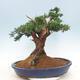 Bonsai im Freien - Juniperus chinensis - chinesischer Wacholder - 3/6
