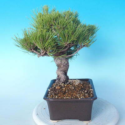 Pinus thunbergii - Thunbergkiefer - 3