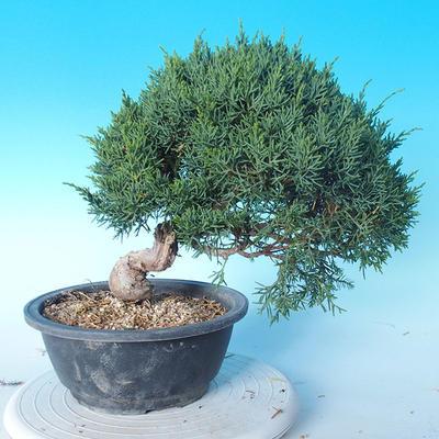 Outdoor Bonsai - Juniperus chinensis ITOIGAWA - Chinesischer Wacholder - 3