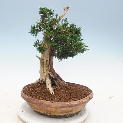 Bonsai im Freien - Juniperus chinensis - chinesischer Wacholder - 3