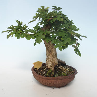 Outdoor Bonsai-Acer campestre-Ahorn Baby 408-VB2019-26808 - 3