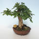 Outdoor Bonsai-Acer campestre-Ahorn Baby 408-VB2019-26808 - 3/3