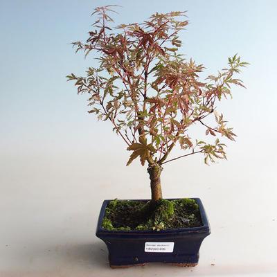 Outdoor bonsai - Acer palmatum Butterfly VB2020-696 - 3